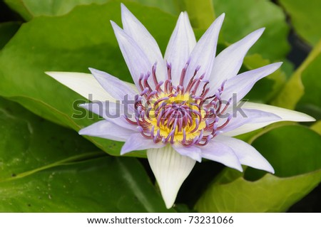 Purple water lily with green leaves - stock photo