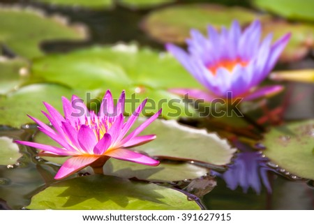 Purple waterlily in a pond - stock photo