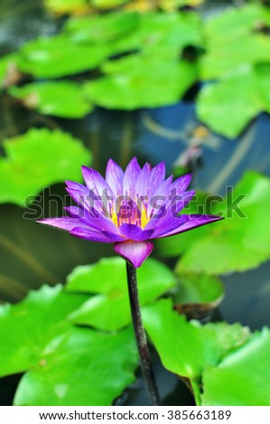 Purple Waterlily In the pond