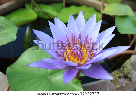 Purple waterlily is blooming with soft sunlight - stock photo