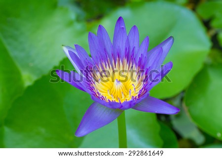 Purple waterlily on green leafs background - stock photo