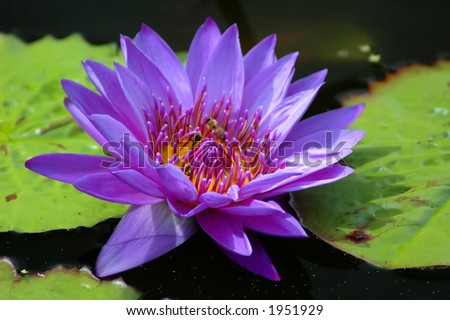 Purple waterlily on pond with lily pads. - stock photo
