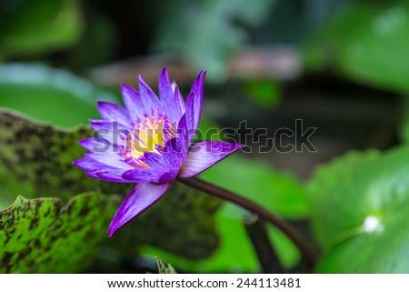 Purple waterlily or lotus flower in garden - stock photo