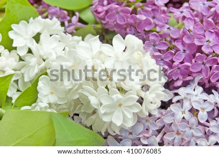 Purple, white and pink lilac flowers isolated on white background. Different kind of lilac flowers - stock photo