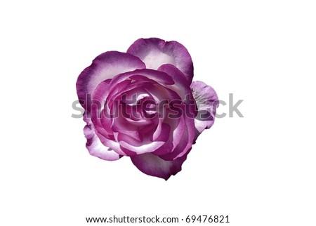 Purple & White Rose Flower Isolated on White - stock photo