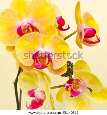 purple, white, yellow falan orchid, Air Orchid & Lab(Orchid supermarket), Thailand - stock photo