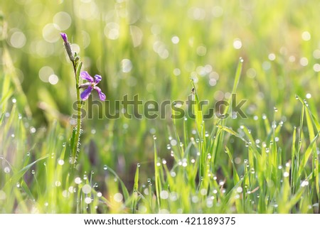 Purple wild flower (Chorispora tenella) and little spider in grass with droplets of dew in the morning sun for  create a charming picture.  soft focus, shallow DOF.  - stock photo