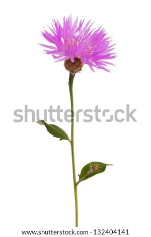Purple wild flower on a thin stalk - stock photo