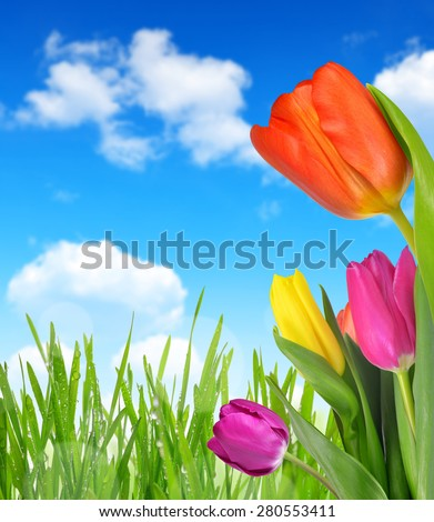 Purple, yellow and red tulip with dewy grass on blue sky