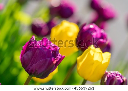 Purple, yellow tulips background. Tulips blossoming, blooming. Flowerbed closeup of tulips. Colorful vivid, vibrant, bright tulips floral plant background. Purple yellow tulips spring beauty in nature - stock photo