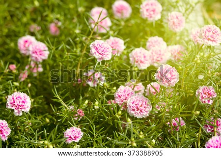 Purslane, Pussley, Rose mose, Sun plant, Eleven-o'clock flower in the morning - stock photo