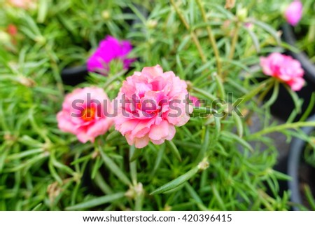 Purslane, Pussley, Rose mose, Sun plant, Eleven-o'clock flower in the morning:Close up,slelect focus with shallow depth of field. - stock photo