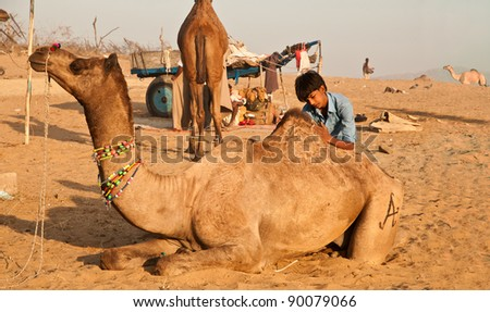PUSHKAR, INDIA - NOVEMBER 8: A camel trader grooms his camel at the cattle fair on November 8, 2011 in Pushkar, Rajasthan, India. Pushkar cattle fair is the largest camel trading fair in the world.