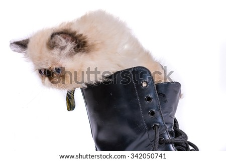 Puss in Boots concept image - A two month old Blue Point Himalayan Persian kitten in a black lace up combat boot - stock photo