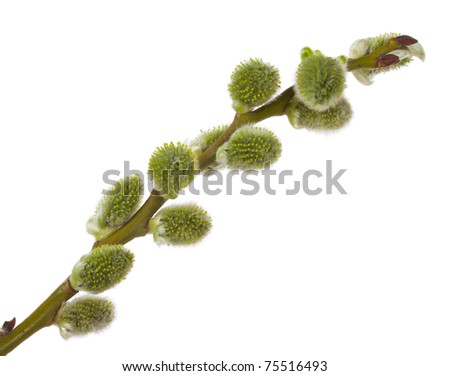 pussy willow branch - stock photo