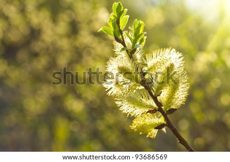 pussy willow branch in sunlight - stock photo