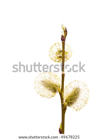 Pussy-willow branch, isolated on white. - stock photo