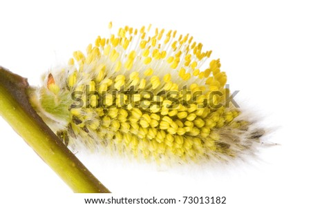 Pussy-willow branch, isolated on white . - stock photo