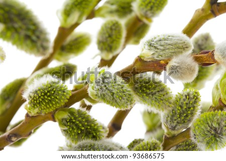 pussy willow branches - stock photo