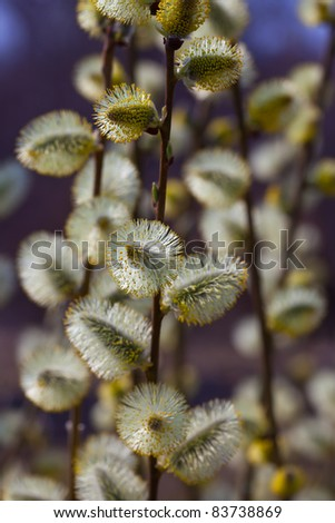 pussy willow branches in spring nature - stock photo