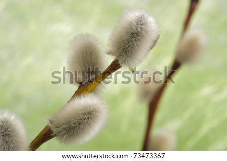 pussy willow catkin - stock photo