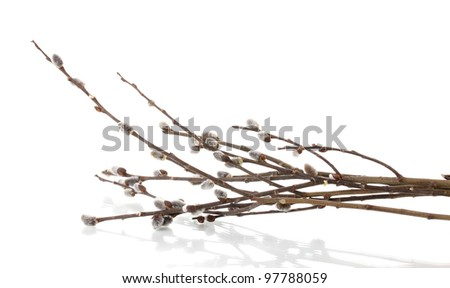 Pussy willow twigs isolated on white - stock photo