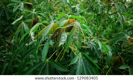Put forth fresh leaves of Cassava Tree. - stock photo
