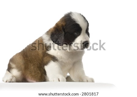 puupy Saint Bernard in front of white background - stock photo