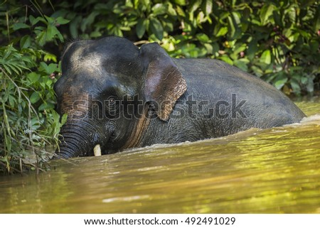 Pygmy elephant close up in the nature.