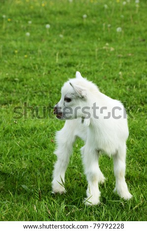 Pygmy goat kid, family farm, Webster County, West Virginia, USA - stock photo