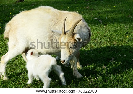 Pygmy goat kid nursing nanny, family farm, Webster County, West Virginia, USA - stock photo