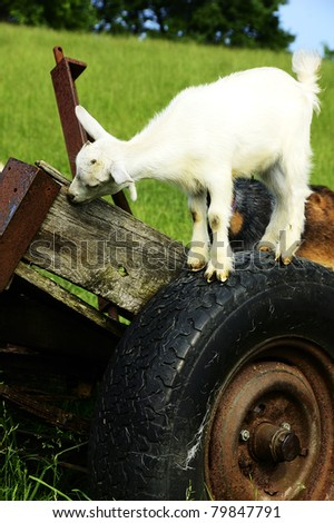 Pygmy goat kid of wheel, family farm, Webster County, West Virginia, USA