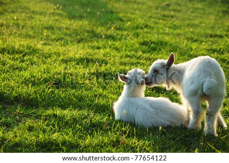Pygmy goat kid twins, family farm, Webster County, West Virginia, USA - stock photo
