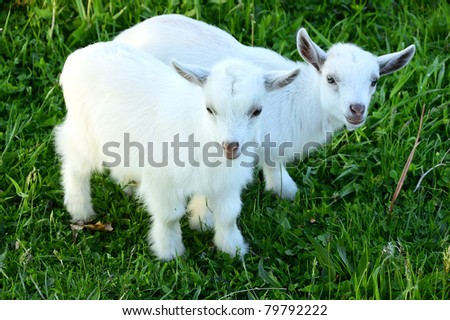 Pygmy goat kid twins, family farm, Webster County, West Virginia, USA