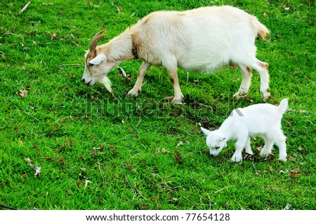 Pygmy goat kid with nanny, family farm, Webster County, West Virginia, USA - stock photo