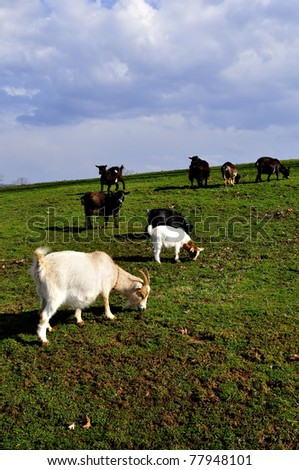 Pygmy goats grazing, family farm, Webster County, West Virginia, USA - stock photo