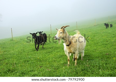 Pygmy goats in morning fog, family farm, Webster County, West Virginia, USA - stock photo