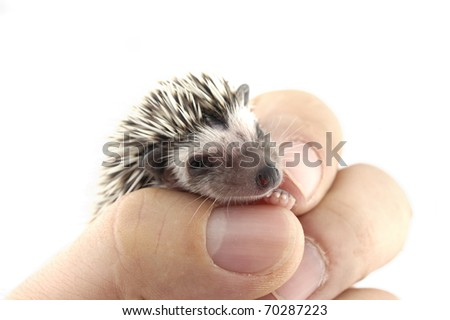 pygmy hedgehog in hand - stock photo