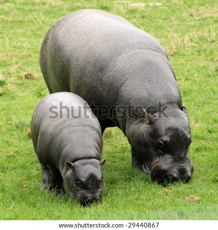 Pygmy Hippopotamus - stock photo