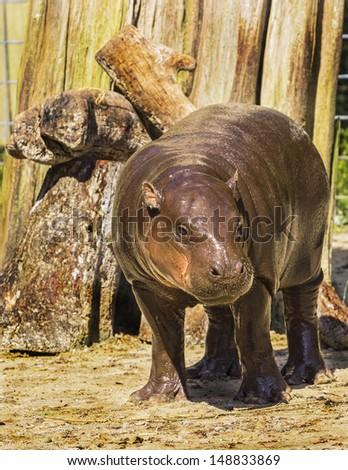 Pygmy Hippopotamus baby  - stock photo