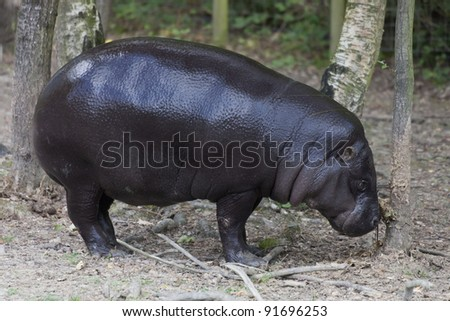 Pygmy hippopotamus in forest - Hexaprotodon liberiensis - stock photo