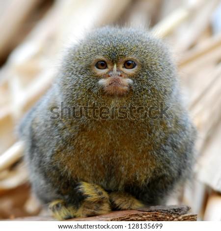 pygmy marmoset ape - stock photo