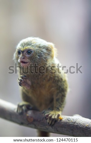 Pygmy Marmoset, the smallest monkey in the world - stock photo