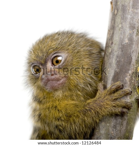 Pygmy Marmoset (5 weeks) - Callithrix (Cebuella) pygmaea in front of a white background