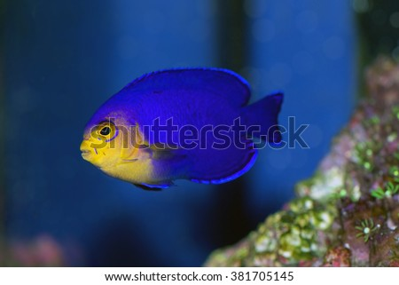 Pygmy or Cherub Angelfish, Centropyge argi, from the Caribbean - stock photo