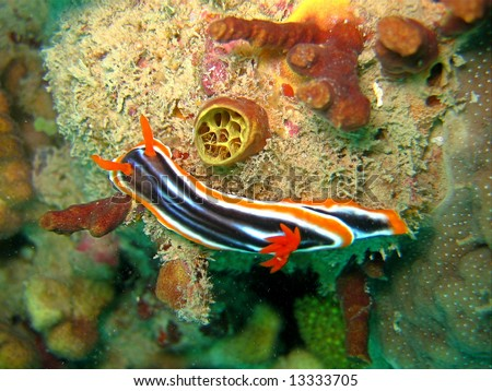 Pyjama nudibranch - Chromodoris quadricolor - stock photo