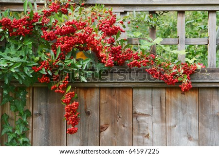 Pyracantha plant climbing on and over a redwood fence with red berries - stock photo