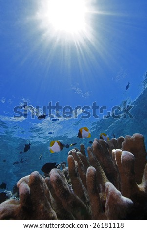 Pyramid Butterflyfish (Hemitaurichthys polylepis) swimming over coral with the sunburst reflecting through the water behind them on a coral reel off Bunaken Island, North Sulawesi, Indonesia. - stock photo