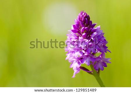 Pyramidal Orchid at Letea - stock photo