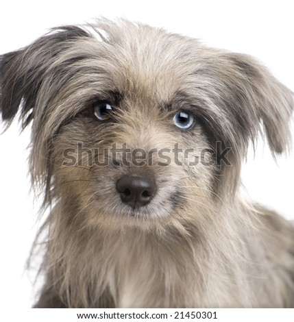 Pyrenean Shepherd (1 year) in front of a white background